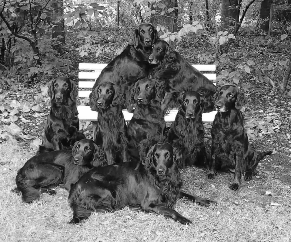 Talloch Dawn kennel Flatcoated Retrievers