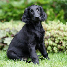 Keen Khaleesi from Black and Free, Flatcoated Retriever, Talloch Dawn kennel