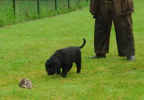 Talloch Dawn pup met eend