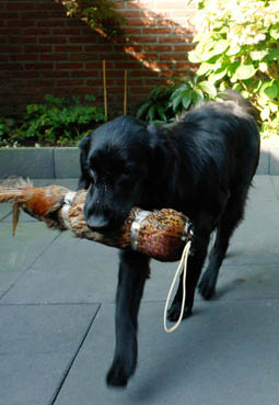 Floortje met fazant Flatcoated Retriever Talloch Dawn