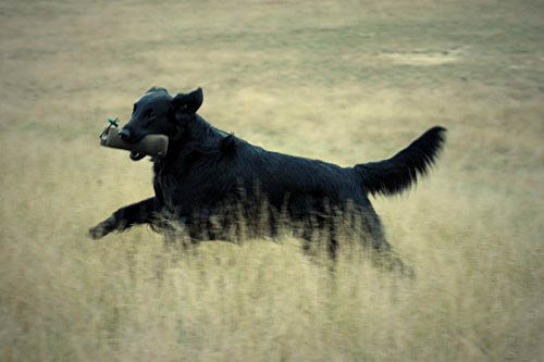 Talloch Dawn Flatcoated Retriever